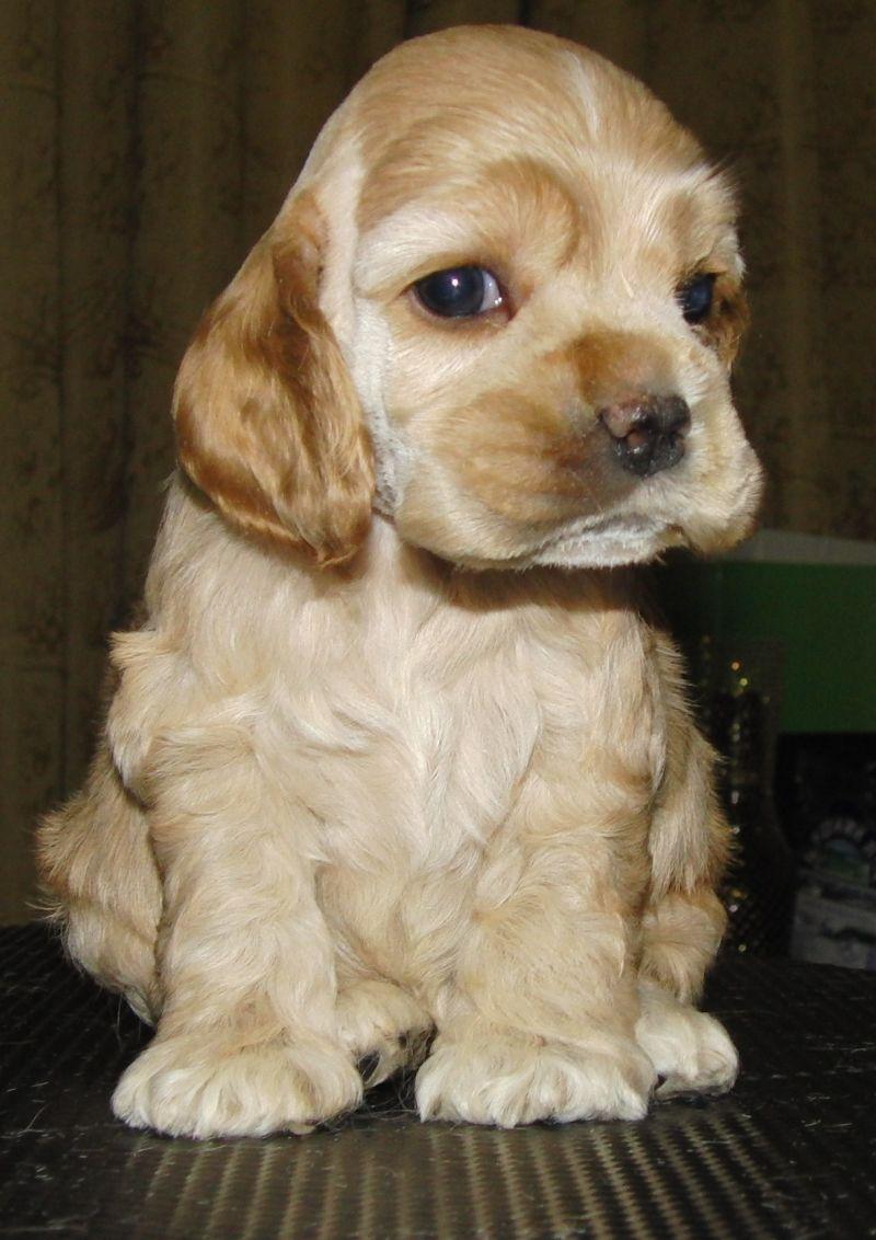 фото щенки американский кокер спаниель